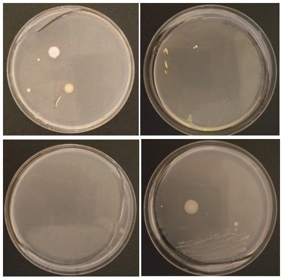 48 hour streak plates (clockwise from upper left): 1. Control, 2. Culterelle, 3. Nature's Way, 4. Breast Milk